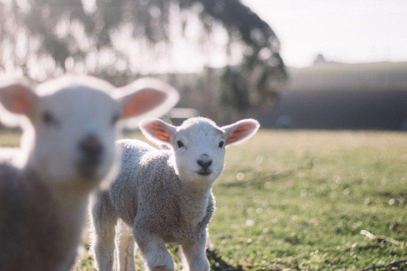 Ќе останеме без јагнешко за Велигден, прочитајте зошто