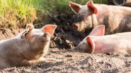 Во Германија по поплавите, свинската зараза е потврдена на три фарми