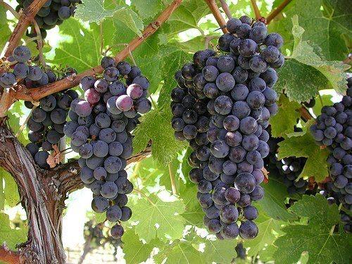 Во малопродажбата, грозјето е најевтино во овие места