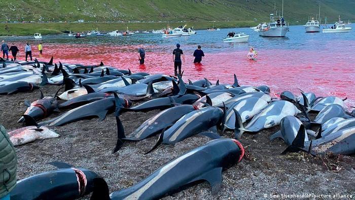 Maсовно убиство на делфини како дел од традицијата на Фарските острови